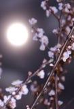 Primavera Cereza Luna Llena Imagen de archivo