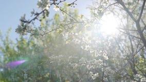 primavera Cespugli della ciliegia durante la fioritura archivi video