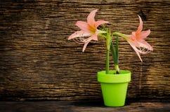 Primavera che fa il giardinaggio, piantando sopra il vecchio fondo di legno Fotografia Stock