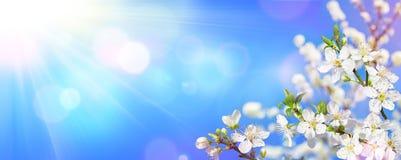 Primavera che fiorisce - luce solare sulle fioriture della mandorla fotografia stock