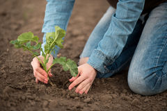 Primavera che pianta nelle mani femminili dell'agronomo del campo Fotografia Stock Libera da Diritti