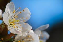 Primavera Cherry Blossom foto de archivo
