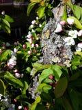 Primavera Cherry Blossom foto de archivo libre de regalías