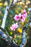 Primavera Cherry Blossom Fotografía de archivo