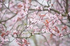 Primavera Cherry Blossom Imagen de archivo libre de regalías