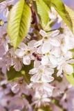 Primavera Cherry Blossom Imágenes de archivo libres de regalías