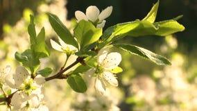Primavera Cherry Blossom