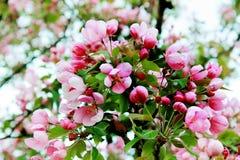 Primavera Cherry Blossoms imagenes de archivo