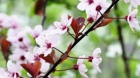 Primavera Cherry Blossoms almacen de video