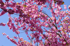 Primavera Cherry Blossoms Fotografía de archivo