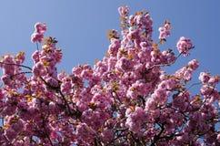 Primavera Cherry Blossoms Foto de archivo