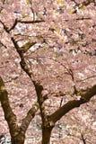 Primavera Cherry Blossoms de Vancouver canadá Imagenes de archivo