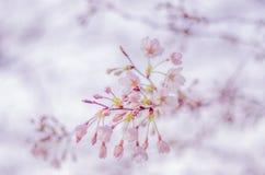 Primavera Cherry Blossoms en Japón Fotografía de archivo