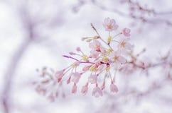 Primavera Cherry Blossoms en Japón Imagen de archivo