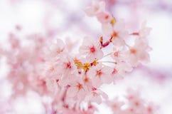 Primavera Cherry Blossoms en Japón Foto de archivo libre de regalías