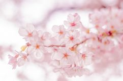 Primavera Cherry Blossoms en Japón Imágenes de archivo libres de regalías