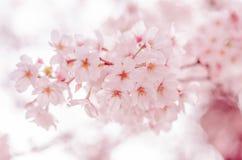 Primavera Cherry Blossoms en Japón Imagen de archivo libre de regalías