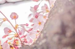 Primavera Cherry Blossoms en Japón Fotos de archivo libres de regalías