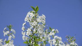 Primavera Cherry Blossoms Gli alberi da frutto fioriscono in primavera archivi video