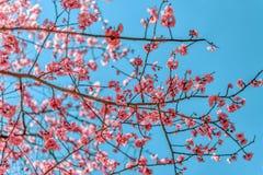 Primavera Cherry Blossoms rosa con il fondo del cielo blu Fotografia Stock