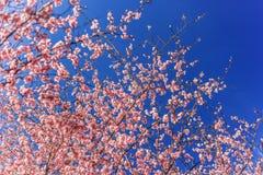 Primavera Cherry Blossoms rosa con il fondo del cielo blu Immagini Stock