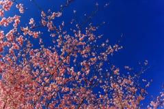 Primavera Cherry Blossoms rosa con il fondo del cielo blu Fotografia Stock Libera da Diritti
