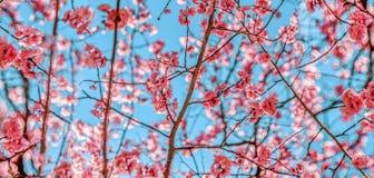 Primavera Cherry Blossoms rosa con il fondo del cielo blu Immagini Stock Libere da Diritti