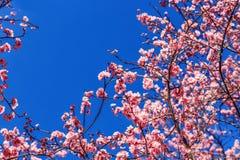 Primavera Cherry Blossoms rosa con il fondo del cielo blu Immagine Stock