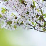 Primavera Cherry Blossoms Sakura Fotografia Stock