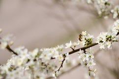 Primavera Cherry Flowers Fotos de archivo libres de regalías