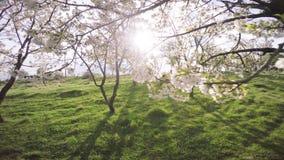 Primavera Cherry Orchard floreciente almacen de video