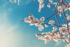 Primavera Cherry Sakura White Flowers, tonificante immagine stock