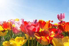 Primavera - cielo blu di Tulip Field With Sunbeams And Fotografie Stock