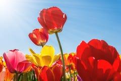 Primavera - cielo blu di Tulip Field With Sunbeams And Fotografie Stock Libere da Diritti