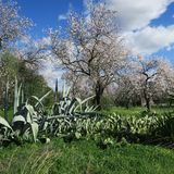 Primavera, cielo blu luminoso, mandorli a febbraio in Europa, por Immagine Stock Libera da Diritti