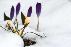 primavera com açafrões e neve de derretimento Foto de Stock Royalty Free