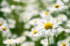 Primavera com margaridas Fotografia de Stock Royalty Free