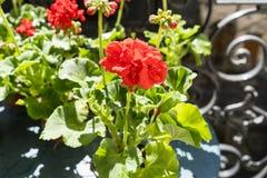 Primavera con i gerani rossi su un balcone a Parigi, Francia Immagine Stock Libera da Diritti