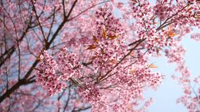 Primavera con l'albero rosa dei fiori archivi video