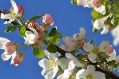 Primavera con los árboles florecientes 2 Fotografía de archivo libre de regalías