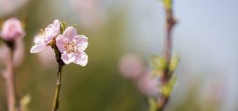 Primavera, concetto di primavera - fiori rosa Fotografie Stock Libere da Diritti