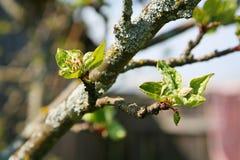 Primavera, día soleado, las hojas verdes jovenes de un manzano del jardín del árbol ramifican en fondo del cielo azul brotes de u Fotos de archivo libres de regalías