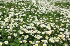 Primavera Daisy Meadow Fotografie Stock Libere da Diritti
