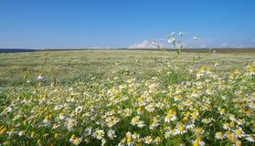 Primavera Daisy Meadow Imágenes de archivo libres de regalías