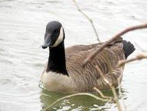 primavera de canadense 2017 do ganso do Rio Potomac Fotografia de Stock