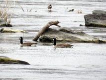 primavera de canadense 2017 dos gansos do Rio Potomac Imagens de Stock