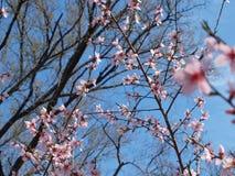 primavera de flores de florescência Foto de Stock Royalty Free