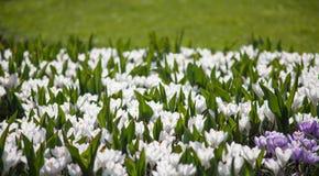 primavera de florescência de Keukenhof dos jardins do açafrão branco Imagem de Stock Royalty Free
