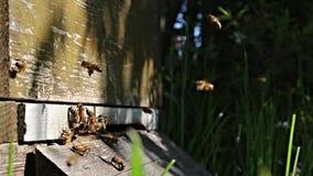 Primavera de la colmena del vuelo de las abejas metrajes