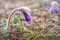 Primavera de la escarcha de la flor de Snowdrop Fotos de archivo libres de regalías